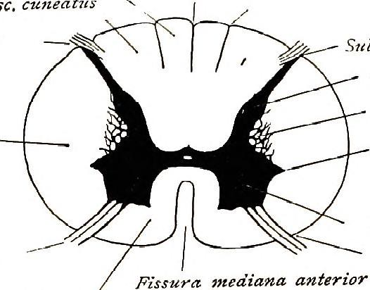 Image From Page 104 Of Brain And Spinal Cord A Manual Fo
