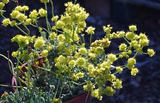 Eriogonum umbellatum var. colvilleii - Colville's Buckwheat