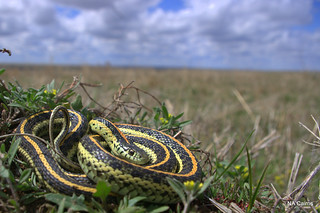 Thamnophis radix | by nacairn