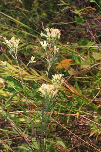 Brickellia eupatorioides (L.) Shinners var. eupatorioides  (syn. Kuhnia eupatoroides)