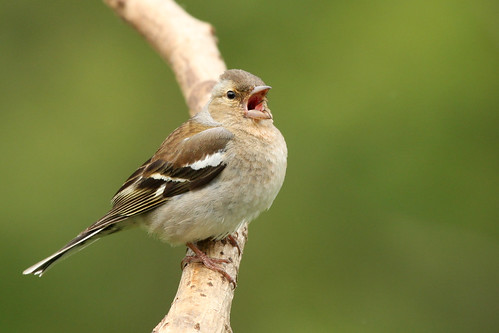 Chaffinch | by dinners85