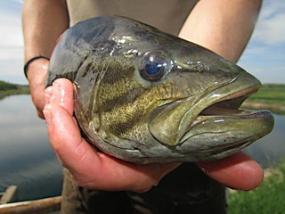 Smallmouth bass | by USFWS Mountain Prairie