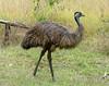 Emu (Dromaius novaehollandiae) by Francisco Piedrahita