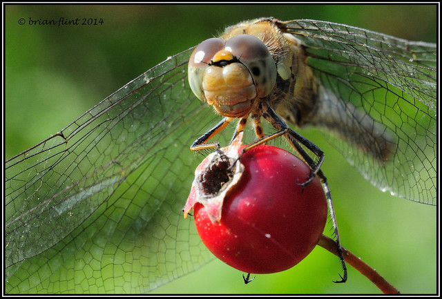 Common Darter on a Berry