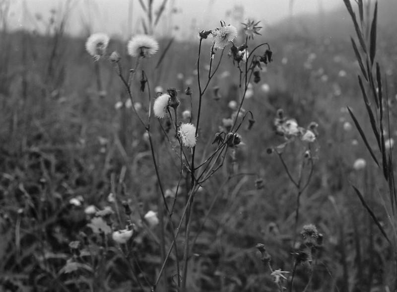 grasses, floral forms, fog, dusk, Lobster Cove, Monhegan, Maine, Mamiya 645 Pro, Mamiya Sekor 80mm f-2.8, 9.9.14
