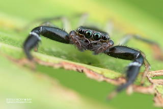 Jumping spider (Thiania sp.) - DSC_5258