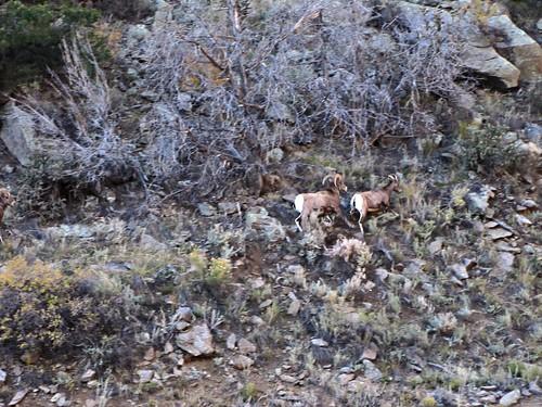 rural colorado wildlife earlymorning canyon rut bighornsheep bighornsheepcanyon