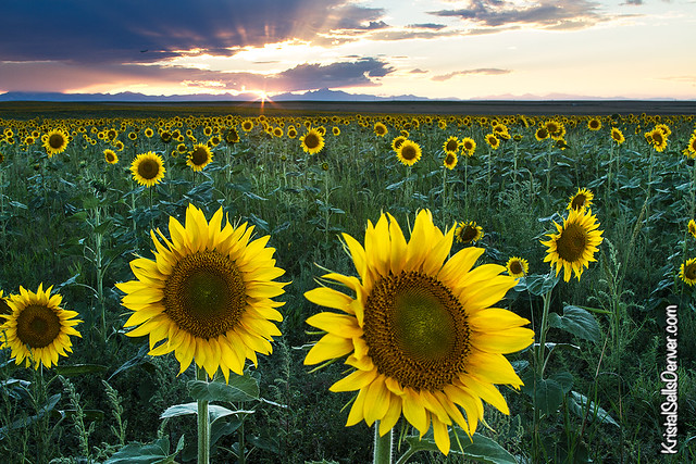 Sunflower Eve