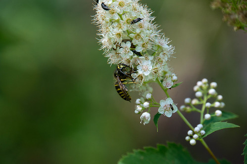 09598 Ambush Bug eating Yellow Jacket on White Meadowsweet | by rockerBOO