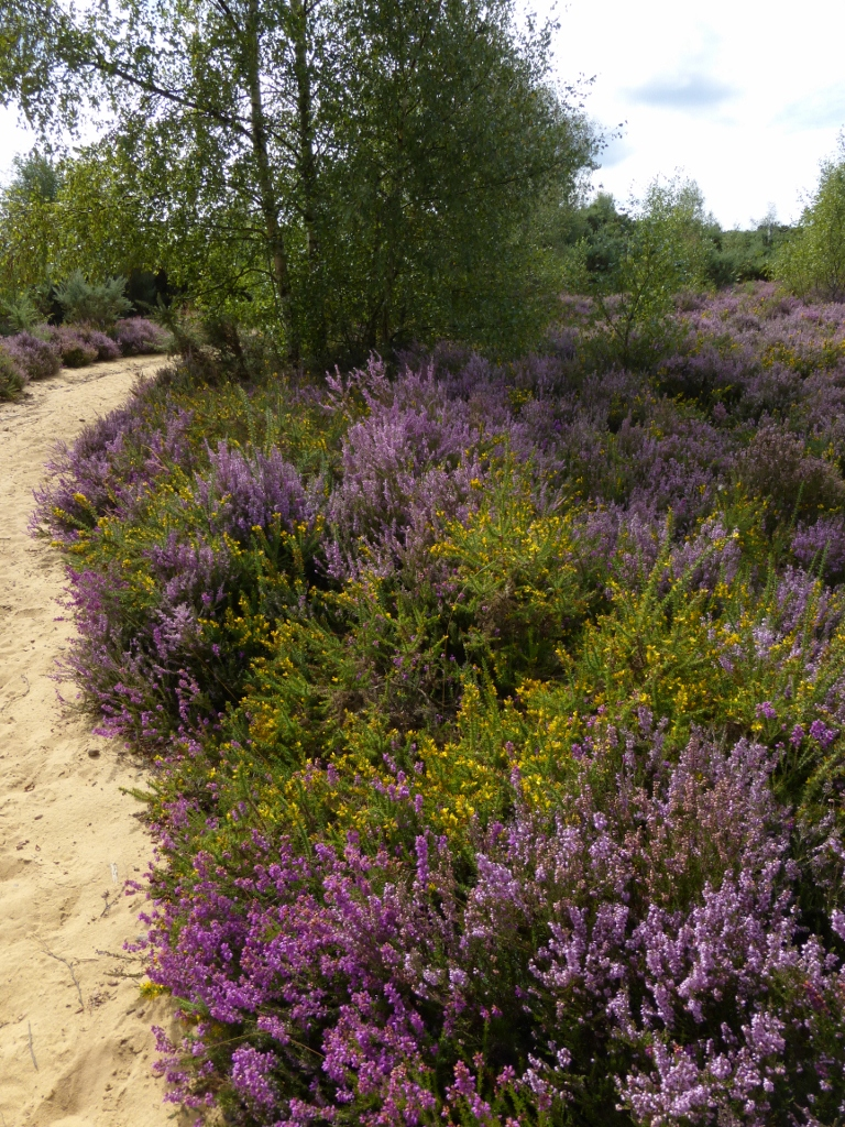 Path across Thorsley Common Milford to Haslemere walk