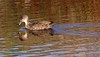 Grey teal Anas gracilisNew Zealand native duck by Maureen Pierre