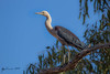 White-necked Heron by R. Francis