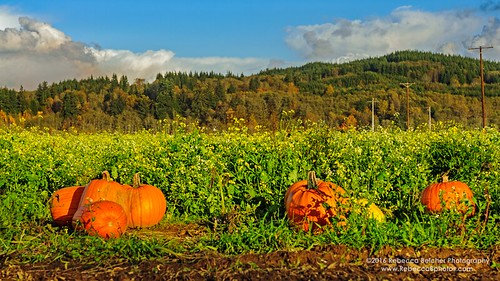 pumpkin patch montesano washington washingtonphotography halloween agriculture dogfriendly photography photographer nature october landscape field outdoor serene sunset plant farm harvest vines