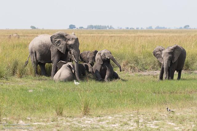 African Elephants-
