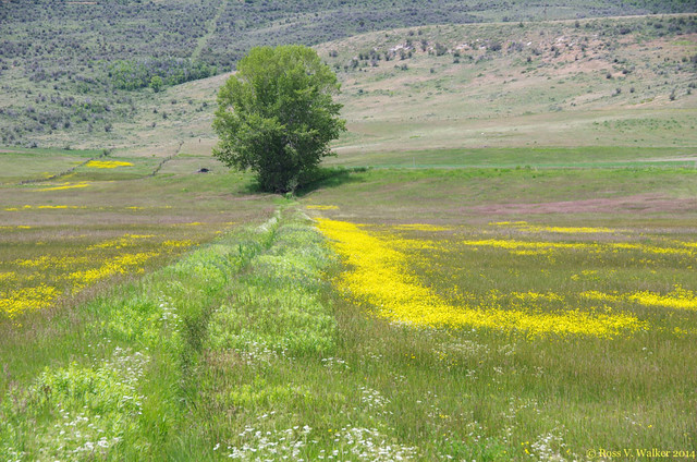 Lone Tree and Buttercups