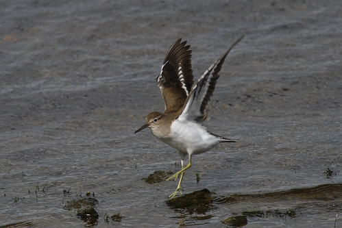 Common Sandpiper | by Chris B@rlow