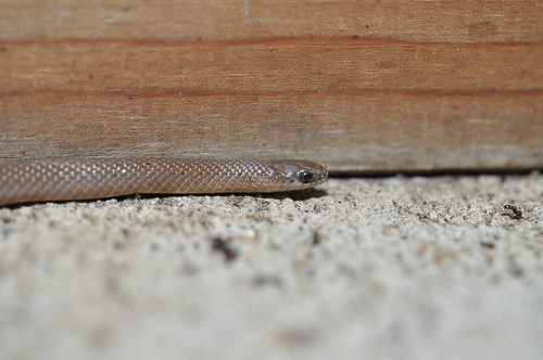 Smooth Earthsnake 20140817 008 | by cygnus921