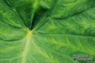 Grüne Adern | Projekt 365 | Tag 212