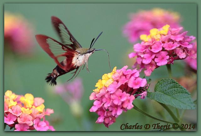 Common Clearwing Hummingbird Moth (Hemaris thysbe)