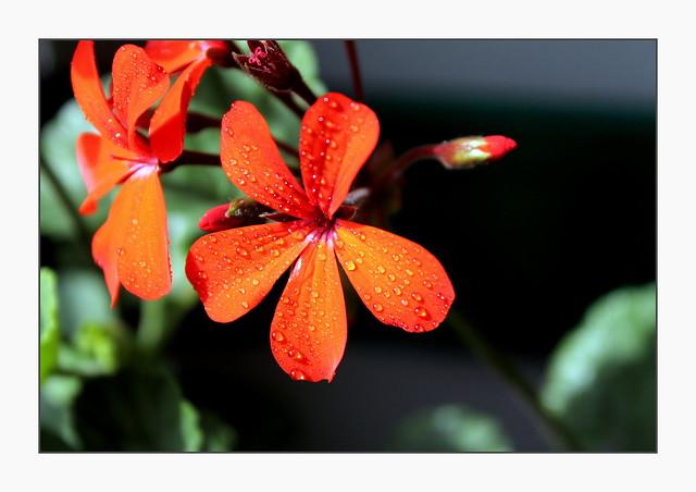 the geranium in the corner