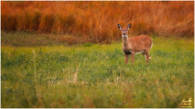 Autumn White-tail in the Field