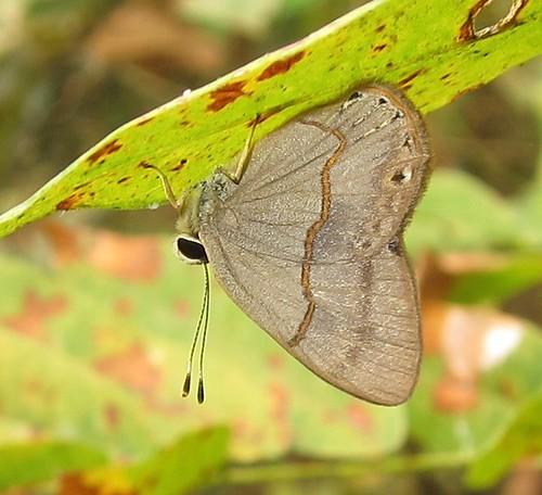 butterfly ecuador euselasiinae euselasiini jorupe loja richhoyer riodinidae urracalodge