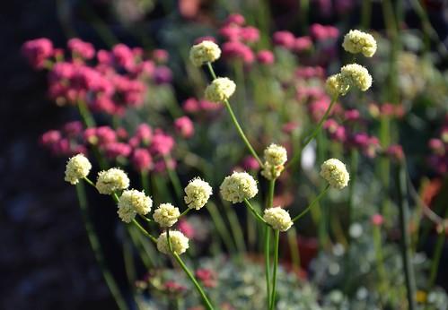 Eriogonum nudum 'Ella Nelson's Yellow' - Ella Nelson's Yellow Buckwheat and Eriogonum grande rubescens - Rosey Buckwheat