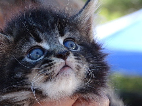 Maine Coon 5 week old Kitten, Kula Upcountry Farmer's Market Sue Salisbury Maui Hawaii | by Sue Salisbury Maui Hawaii