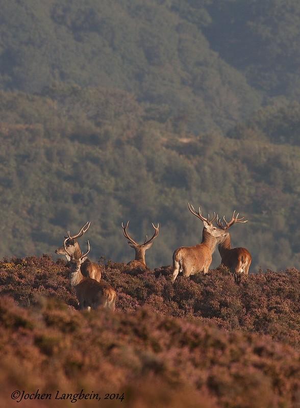 Exmoor Stags in September