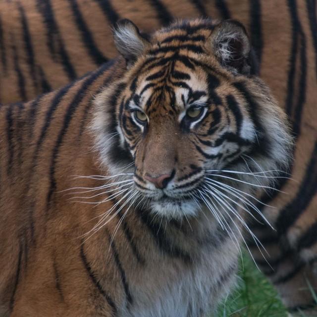 Sumatran Tiger NA0020 D210bob DSC_6260