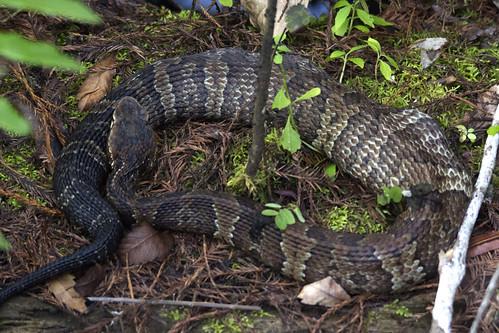 six mile cypress slough fortmyers fl florida reptile cottonmouth breakfast snake venom venomous pitviper watermoccasin agkistrodonpiscivorus