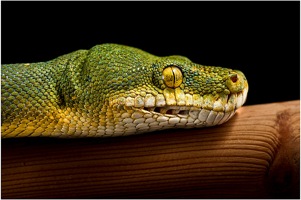 Green Tree Python | Notice how the teeth face backward so ...