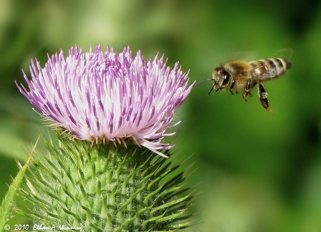 Honey Bee 0495