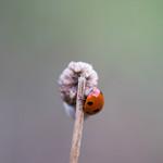 Evening bug