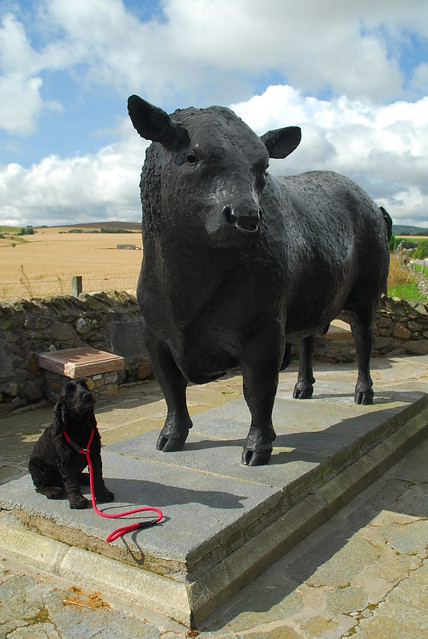Roly and Aberdeen Angus at Alford Aberdeen
