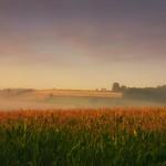 Maize, Morning & Mist