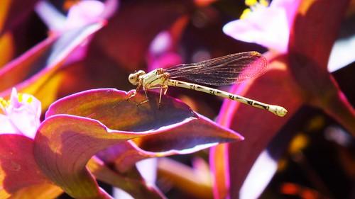 Bone Dragonfly