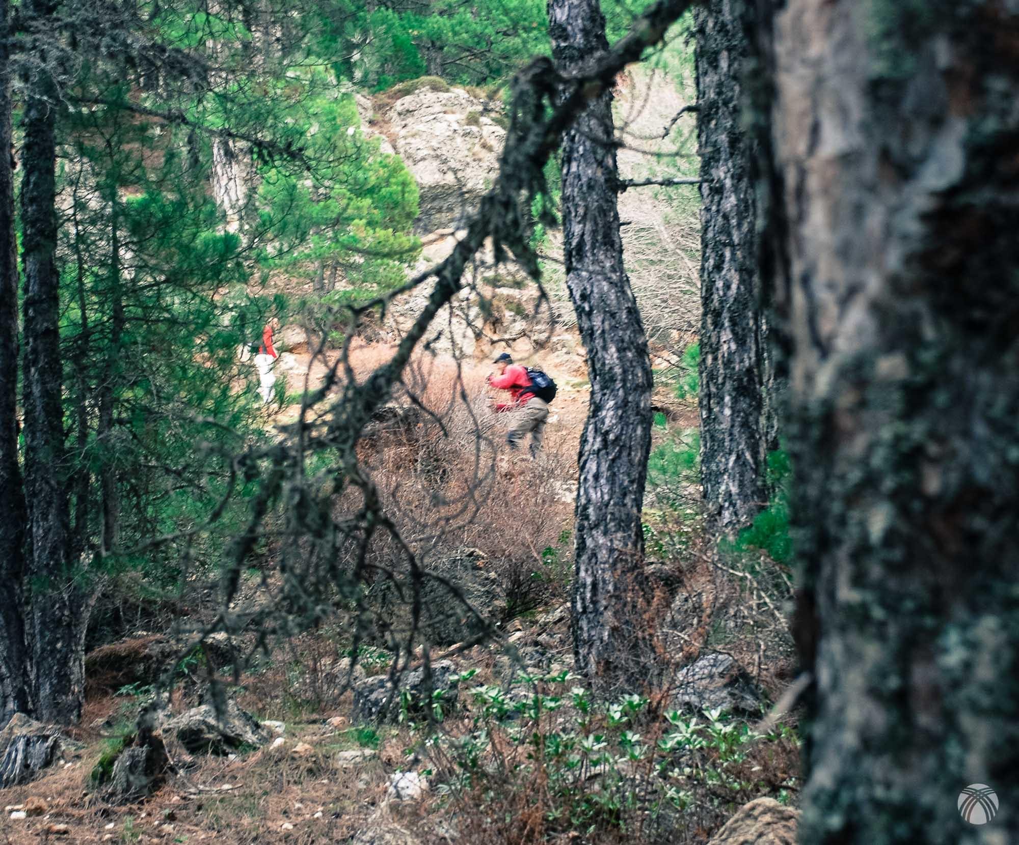 Cazado entre los pinos