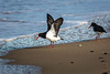 Pied Oystercatcher by Aaron.J.r.S