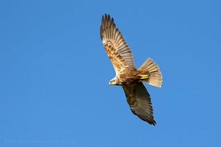 Marsh Harrier Elmley Marshes   by iesphotography