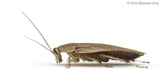 Belize cockroach