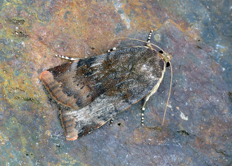 2111 Lesser Broad-bordered Yellow Underwing - Noctua janthe