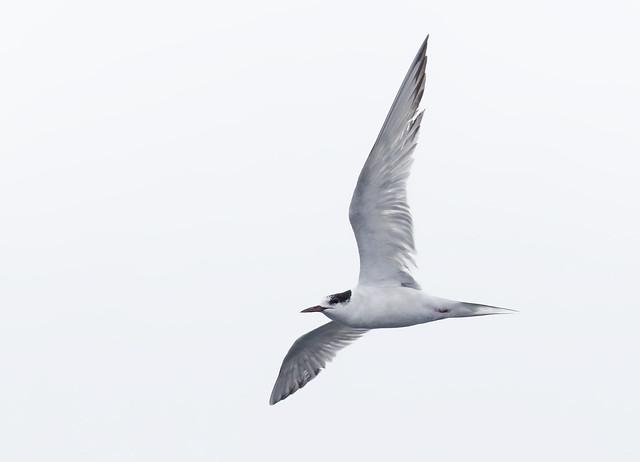 Arctic Tern FTR
