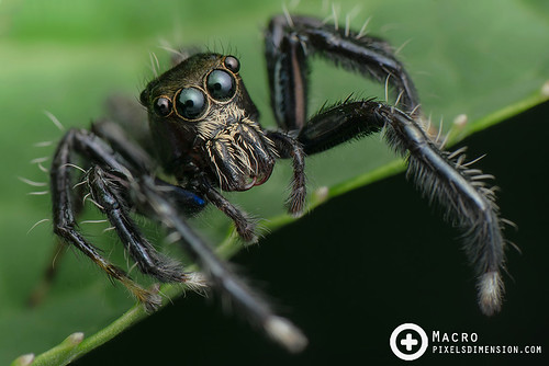 Jumping Spider ♂, ready to jump! | by PF T.J.