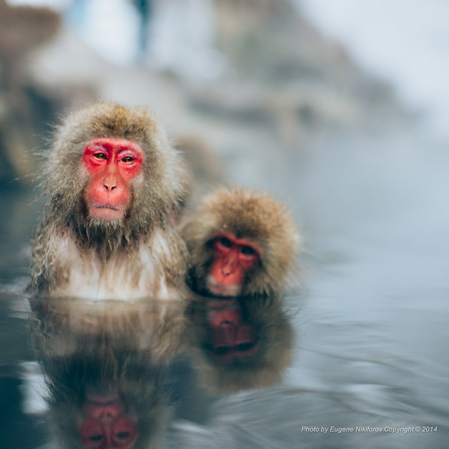 #snowmonkeysaturday Jigokudani Monkey Park, Nagano, Japan