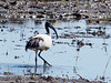 African Sacred Ibis by xrxss15