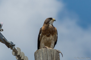 Swainson's Hawk with Rodent | by Rye Jones