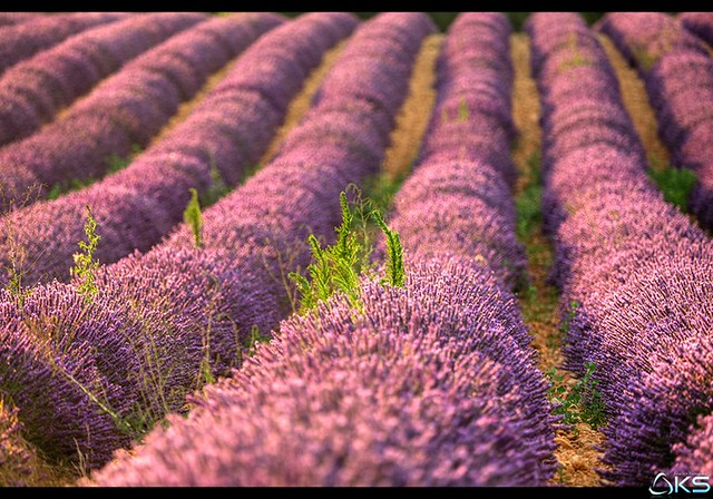 Smells of provence