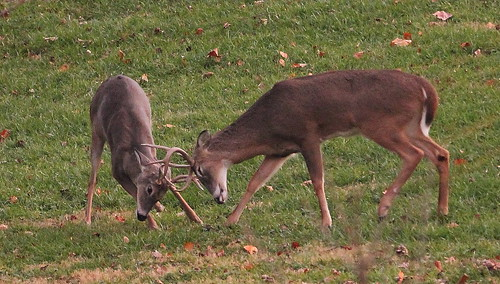 Photo of two young bucks sparring in a field