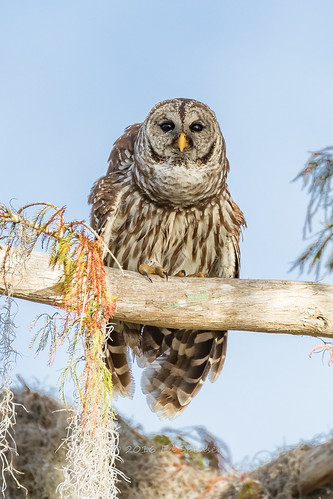 Barred owl | by spensered